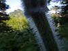 cow parsnip stem