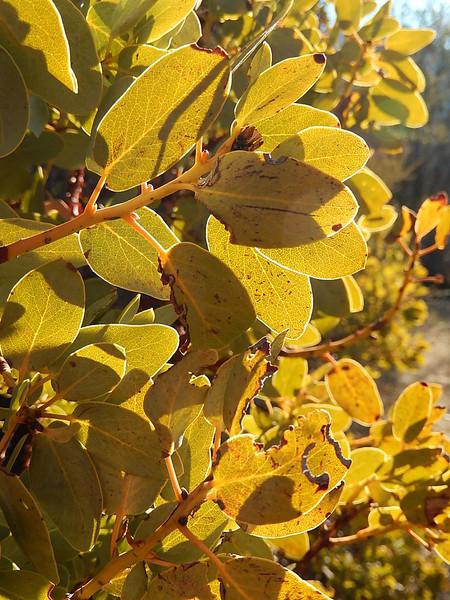 Manzanitas leaves