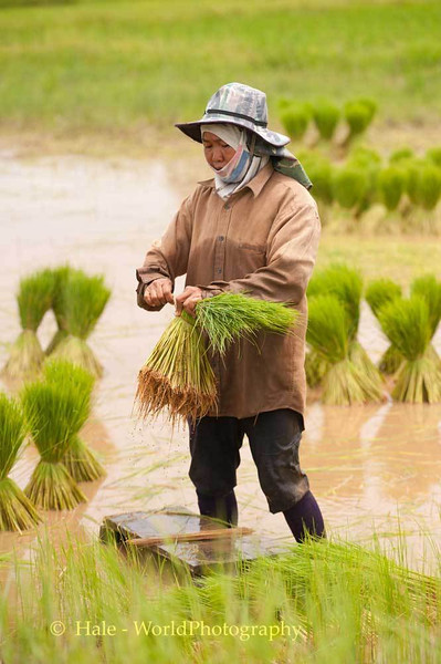 Binding Rice Sheaves in Isaan