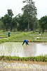 Planting Rice In Flooded Fields of Isaan