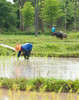 Rice Cultivation In Northeast Thailand