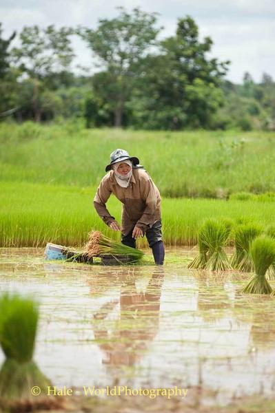 A Scene Familiar Across Isaan In July