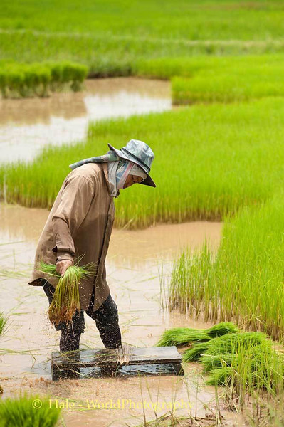 Another Bundle of Rice Plants to Bundle