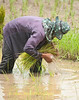 Planting Rice Is Wet Work