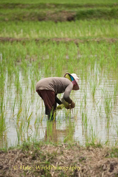 Transplanting Rice Plants In Udonthani Province