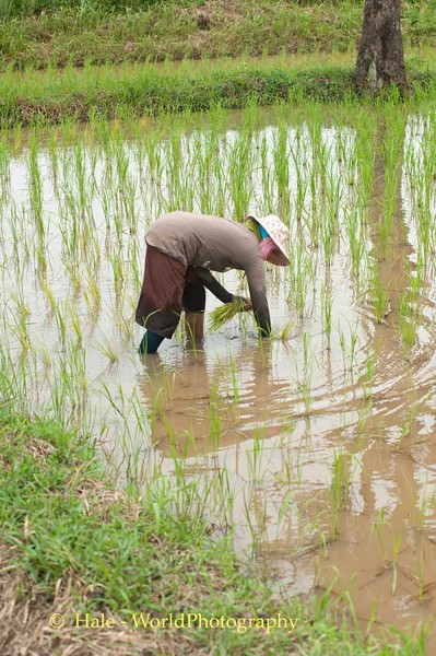 Transplanting Rice Plants In Udonthani Province, Thailand