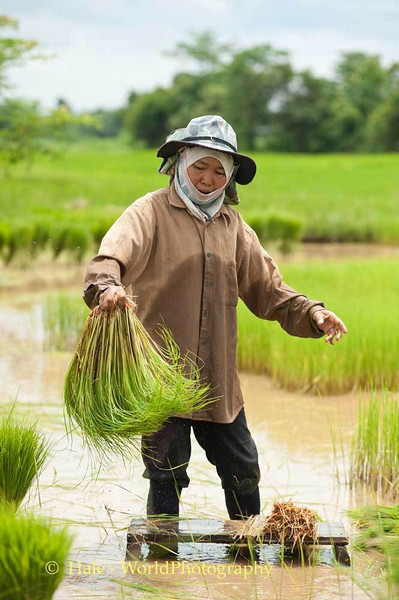 Rice Planting Is Also Woman's Work