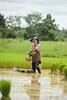 Binding Rice Sheaves in Northeast Thailand