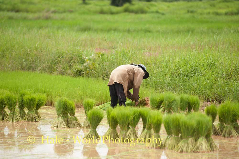 Sheaves of Rice Plants to be Transplanted