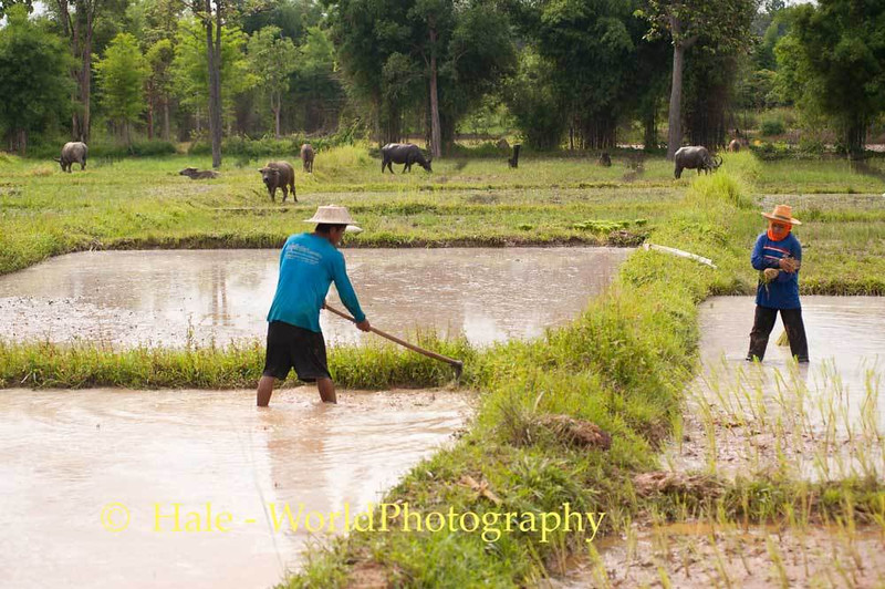 Planting Rice In Isaan