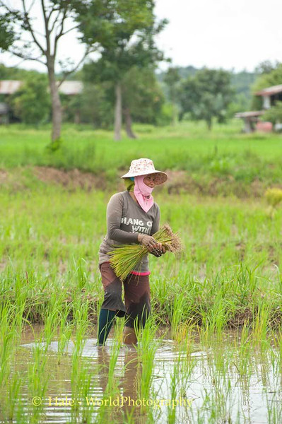 Transplanting Rice Plants In Isaan, Thailand