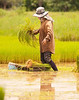 Shaking Out The Rice Plants