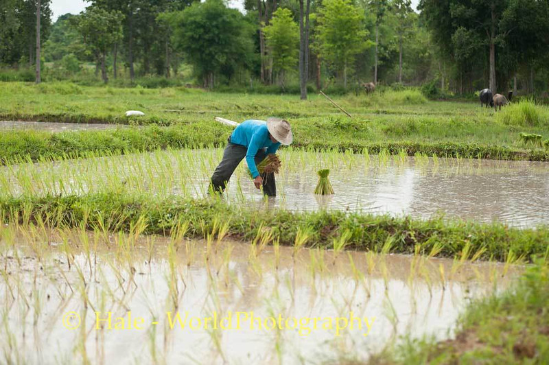 Transplanting Rice Into A Flooded Paddy