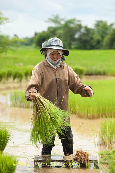 Shaking Water from Harvested Rice Plants