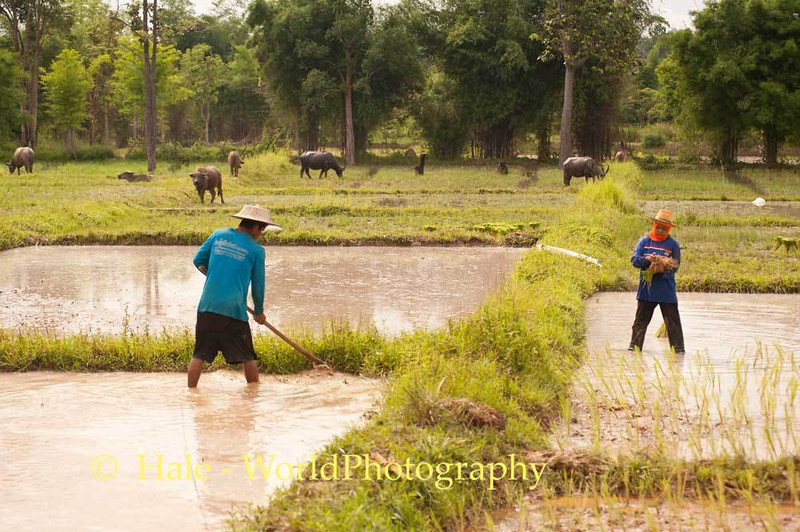 Under the Watchful Eyes of Water Buffalo, Lao Loum Farmers Plant Rice