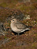 American Golden 2 Plover Porthellick Down 2008