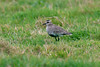 Sociable Plover 1 Telegraph, Isles of Scilly 2008