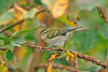 Yellow-browed Warbler St Agnes 2005