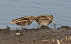 Jack Snipe b Lower Moors October 2016