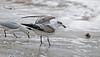 Mediterranean Gull 1stw Porthcressa 2009