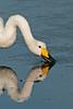 Whooper Swan 2 Porthellick 2009