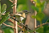 Red-eyed Vireo garrison 2008