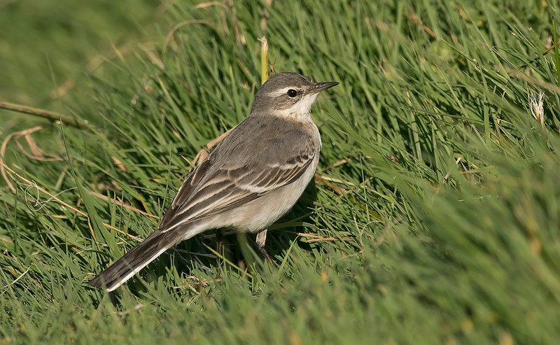 Eastern Yellow Wagtail 1 Lower Moors Oct 2016