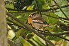 Hawfinch 1 Allotments, St Mary's 2005