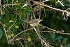Blyth's Reed Warbler 2 St Agnes 2008