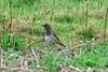 Black-throated Thrush Salakee 2002