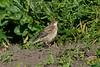 Rose-coloured Starling Porth Minnick 2009