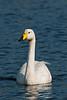 Whooper Swan 1 Porthellick 2009