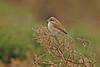 Red-backed Shrike Peninnis 2005