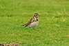 Lapland Bunting Golf Course 2005