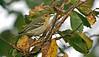 Blackpoll Warbler Lower Moors 2005
