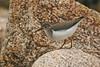 Spotted Sandpiper 1