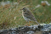Tawny Pipit Peninnis 2003