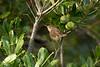 Blyth's Reed Warbler 1 St Agnes 2008