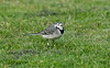 Pied Wagtail Hugh Town October 2016