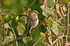 Common Rosefinch Carn Gwarval 2009
