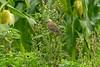 Common Rosefinch St Agnes 2010