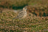 Dotterel Tresco 2007