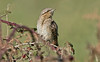 Wryneck 2 Peninnis St Mary's October 2016