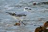 Mediterranean Gull 1stw Porthloo 2004