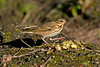 Olive-backed Pipit 1 St Agnes 2008