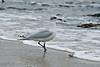 Mediterranean Gull 2ndw Porthcressa 2009