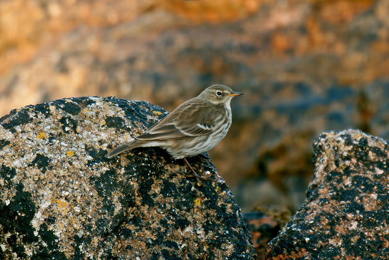 Water Pipit St Agnes 2008