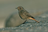 Black Redstart Little Porth 2009