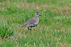 Sociable Plover 2 Telegraph Isles of Scilly 2008