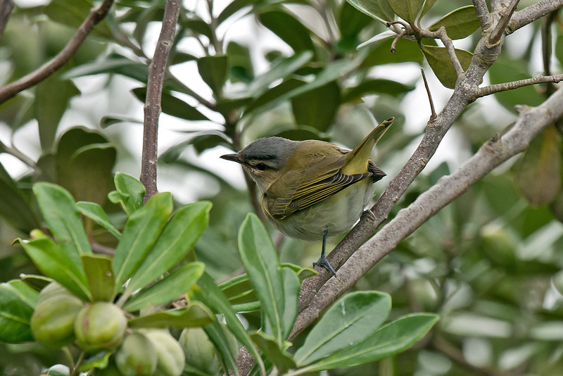 Red-eyed Vireo Gugh 2008